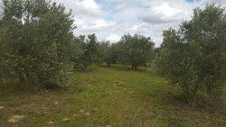 Autre partie de l'oliveraie, dans le domaine.